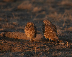 Burrowing Owl 19-15 (trdunn) Tags: burrowingowl colorado owl wildlife sunset pair couple