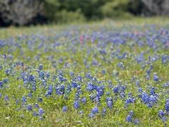 P1010229 -1R (hyphy2008) Tags: brenham texas wildflowers bluebonnets
