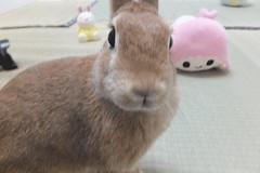 Ichigo san 1537 (Errai 21) Tags: いちごさん ichigo san  ichigo rabbit bunny cute netherlanddwarf pet うさぎ ウサギ いちご ネザーランドドワーフ ペット 小動物 1537