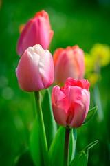 Colorspots 🌷 (Martin Bärtges) Tags: natur nature naturephotography naturfotografie rheinlandpfalz deutschland germany farbenfroh colorful outstanding outside outdoor drausen nikonphotography nikonfotografie z6 nikon blühen blüten blossoms tulpenzeit tulpen tulips flowers