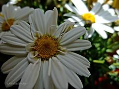 margaritas 3 017 (adioslunitaadios) Tags: margaritas plantasyflores airelibre jardín campo pétalos petalosblancfos macro fujifilm