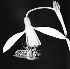Galanthus nivalis L. Gewöhnliches Schneeglöckchen Common snowdrop, Honigbiene bee (Spiranthes2013) Tags: galanthusnivalis galanthus gewöhnlichesschneeglöckchen commonsnowdrop kfwolfstetter scan deutschland diaarchiv diascan germany becker bayern bavaria unterfranken lowerfranconia lkmiltenberg 1991 6x6dias 6x6 plant pflanze pflanzendias plantae angiospermen angiosperms eudicots eudicosiden kerneudikotyledonen coreeudicots nature natur biene imme bee apiformes amaryllidoideae galantheae schneeglöckchen spargelartige asparagales amaryllisgewächse amaryllidaceae amaryllisartige