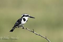 Pied Kingfisher (mayekarulhas) Tags: pied kingfisher bird avian africa safari kenya masaimara