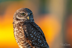 Burrowing Owl - Athene cunicularia | 2019 - 3 (RGL_Photography) Tags: athenecunicularia birding birds birdsofprey birdwatching burrowingowl capecoral florida leecounty mothernature nature nikonafs500mmf56epfedvr nikond500 ornithology owls raptor us unitedstates wildlife wildlifephotography ©2019rglphotography