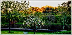 19-04-20 sonauf pan osterbaum gegenl bok  _dsc1691 (ulrich kracke (many thanks for more than 1 Mill vi) Tags: c6 garten hp8 nah osterbaum panorama sonnenaufgang zaun