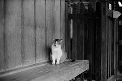 Leica_m_BW_63269_Cat_Pan400 (OPTIK AXIS) Tags: blackandwhite ilfordpan400 leicacamera leica mp 白黑 黑白 garylevel cat 貓 猫 ねこ ライカ rf mp85 カメラ camera 135 写真 底片 膠卷 taiwan 台灣 ライカmレンズ 単焦点レンズ フィルム 銀塩 film analoguephotography monochromatic blackandwhitefilm ノクティルックスm モノクロ