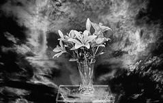 Joyous Easter - Resurrection of Our Lord (kinglear55) Tags: film flower vase ishootfilm filmisnotdead nikkormatft2 lily adobe elements ilford xp2 art photography easter blackandwhite monochrome
