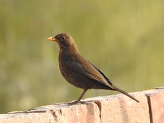 Mrs blackbird (Simply Sharon !) Tags: blackbird bird wildlife britishwildlife nature gardenbird inthegarden gardenvisitor april