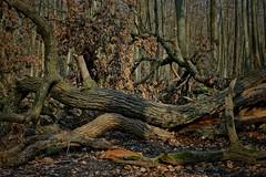 Im Oberwald (nordelch61) Tags: deutschland hessen heimat darmstadt mühlbach baum wald bach wurzeln äste stamm zweige rinde märchenhaft forest fairytale enchanted tree roots wasser wooden