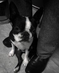 love ❤ (Pigeon_solitaire) Tags: photography photographer dog love bostonterrier pet photooftheday cute mobilephotography blackandwhite blackandwhitephotography switzerland