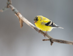 Goldfinch-41161.jpg (Mully410 * Images) Tags: bird birds birding backyard birder goldfinch finch birdwatching