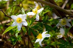 Wood anemone (JarkkoS) Tags: 70200mmf28efledvr boat boating d500 finland flower kukka porvoo söderskär tc17eii uusimaa woodanemone