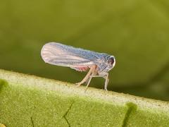 Leafhopper (Eerika Schulz) Tags: zwergzikade zikade cicada ecuador puyo eerika schulz