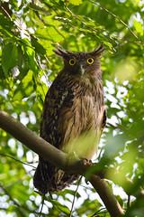 Brown Fish Owl ( মেটে মেছো প্যাঁচা ) (safayetasik) Tags: fish owl মেছো প্যাঁচা wild wildlife green bird birds birdsbangladesh wildlifephotography nikon d5300 wildphotos colour nature brown brownfishowl খয়রা খয়রামেছোপ্যাঁচা