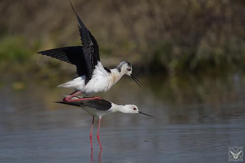 Himantopus himantopus, cavaliere d'Italia, Échasse blanche, black-winged stilt