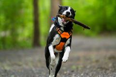 (RichardGlenSailors) Tags: canon 7d 70200mm 28l dog puppy adventure hike fetch georgia
