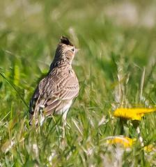 Skylark (wightbern) Tags: skylark rspb birds wildlife nature arretondown hampshireandisleofwightwildlifetrust isleofwight nikon nikonnaturephotography d7100 70300mmf4556gvr