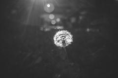 dandelion flare (kriszbagyi69) Tags: sony a7 vintagelens czj carl zeiss flektogon 25mm f4 exakta