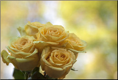 Yellow Roses (Southern Darlin') Tags: flowers rose photography naturephotography nature