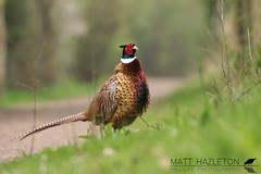 Pheasant (Matt Hazleton) Tags: pheasant phasianuscolchicus bird wildlife nature animal outdoor canon canoneos7dmk2 canon100400mm 100400mm eos 7dmk2 matthazleton matthazphoto summerleys northamptonshire bcnwildlifetrust