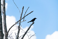 Black Bird (ChristianKphoto) Tags: blue sky bluesky clear day clearday sunshine couds bird tree branch branches perch perching blackbird contemplation vision solitude birds