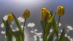 Påskafton,  Kamgatan 14, Utby, Göteborg, Sverige, 2019-04-20. (Roland Berndtsson) Tags: 2019 blomma göteborg kamgatan14 land natur sverige tulpan år