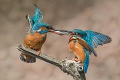 Eisvogel / Kingfisher (@Thomas Neuber) Tags: alcedoatthis kingfisher eisvogel switzerland natur colorful fishpass