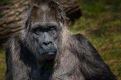 This grandma is 62 years old (THW-Berlin) Tags: mammals säugetiere primaten gorilla sony sigma nature