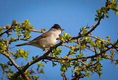 Blackcap. (SteveCrowhurst 2011) Tags: thicket woodland essex birds wildlife nature garden park meadow spring summer undergrowth shrubbery hedgerows barringnaturereserve