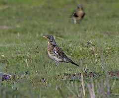 Fieldfare 2 20 Apr 2019 (Tim Harris1) Tags: fieldfare bird helhoughton norfolk nikond7100 nikkor80400afs