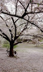 Loveliest Of Trees, The Cherry Now... (Shu-Sin) Tags: cherry tree blossom bicycle bloom poem ae housman nyc new york city spring velo bici poetry bike easter eastertide