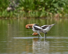 Courting Avocets (dan.weisz) Tags: shorebird avocet americanavocet bird gilbertwaterranch