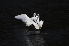 la danse des Aigrettes Garzettes (patrickparsol) Tags: aigrettesgarzettes aigrettes oiseau eau allier auvergne france puydedôme