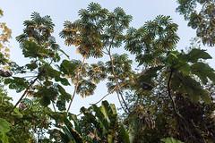 São Gabriel da Cachoeira-AM (Johnny Photofucker) Tags: sãogabrieldacachoeira am amazonas amazon amazônia brasil brazil brasile árvore tree albero árvores trees alberi embaúba embaúbas vegetação 40mm lightroom natureza natura nature rainforest florestaamazônica floresta forest foresta selva giungla jungle 6d