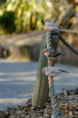 Little finchy things (timnutt) Tags: parkland xt2 northampton northamptonshire wicksteedpark aviary nature bird fuji 35f2wr park animals 35mm fujifilm kettering