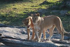 Lionesses playing (adupaix) Tags: lion lioness cub cubs kenya africa animal park national leo panthera wild group mammal big reserve drinking nature pan felidae young three small cat animals animalplanet savannah mammifère natur naturephotography bébé