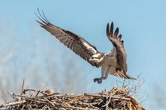 Osprey returning to nest (dwb838) Tags: landing osprey nest flight