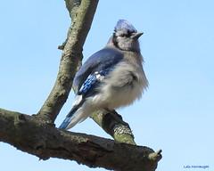 Blue Jay (Lois McNaught) Tags: bluejay bird avian nature wildlife hamilton ontario canada
