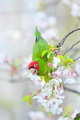Cherry-headed conures (theviewfinder) Tags: cherryheadedconures birds birdphotography nikon d3s nikon300mmf4 midhunthomas midhunjohnthomas sanfrancisco cherryheaded parrots california
