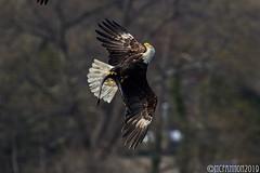 Bald Eagle and an Eel (mcfannon) Tags: birds bald eagles centerport prey