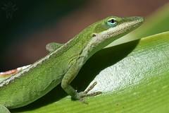 Green Anole (Shutter_Hand) Tags: dallas texas usa miguelmendozamuñoz dallasarboretum letnaturenurtureyou naturaleza lenscraft sony alpha a99 sonyalphaa99 slta99 greenanole anoliscarolinensis lagartija lizard verde green reptil animal sonyaf100mmf28macro macro