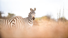Nairobi-Nationalpark-April-9152 (ovg2012) Tags: africa afrika canon commonzebra equusquagga kenia kenya nairobinationalpark reisefotografie safari steppenzebra wildlife animal nature travelphotographer wild wildlifephoto wildlifephotography