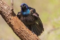 Common Grackle (Lynn Tweedie) Tags: wood bokeh beak tail wing commongrackle canon ngc animal 7dmarkii missouri sigma150600mmf563dgoshsm tree eye green eos bird feathers branch