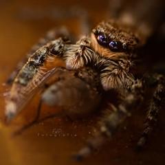 Makroaufnahme (EmPi Fotografie) Tags: spinne jagd beute makro springspinne natur augen haarig insekten