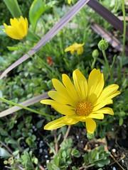 (williacw) Tags: arboretum texas dallas 2019 flowers