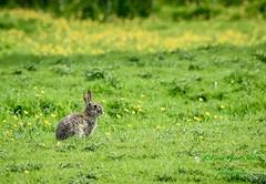 All herald the Easter Bunny (fionarosegunn) Tags: buttercup northamptonshire countryside springtime spring easterbunny rabbit bunny