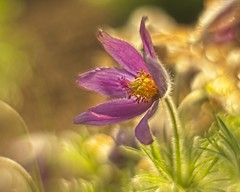 A beautiful anemone in a wild environment (Roland B43) Tags: flower anemone helios442 petzval macro bulskamp kruidentuin