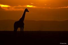 # Giraffe........... (Dr Prem K Dev) Tags: giraffe sunset orange yellow red flame backlight composition bg brilliant lovely majestic masai mara kenya silhouette nature savannah africa magical