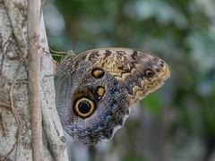 Caligo telamonius memnon (da.da13) Tags: schmetterling motýl farfalla pillangó तितली 蝶 蝴蝶 mariposa papillon butterfly detal insect nature panasonic lumix dmcg80 olympus mzuiko ed 60mm f28 macro micro four thirds