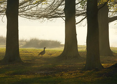 _B5A4301REWS Morning Walk, © Jon Perry, 20-4-19 zbq (Jon Perry - Enlightenshade) Tags: jonperry enlightenshade arranginglightcom 20419 20190420 richmondpark dawn goose egyptiangoose walk woods